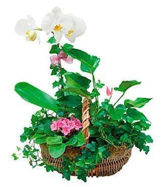 Basket Arngmnt of Plants