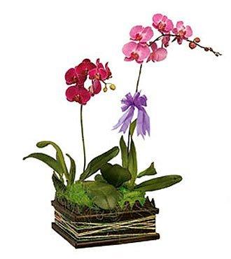 Phalaehopsis Orchid arr.