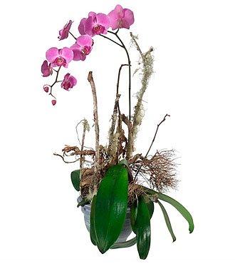 Noble Orchid (Plant)